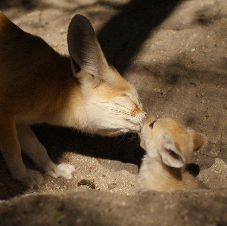 Малыши лисы фенек из зоопарка Флориды
