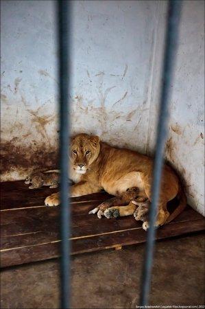 Сафари-парк львов «Тайган»