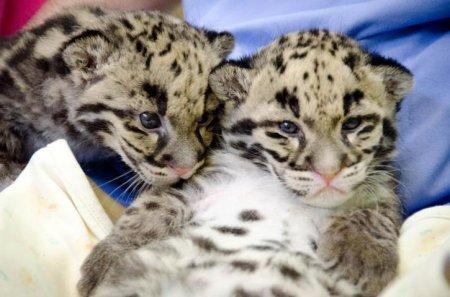Два маленьких дымчатых леопарда из Вашингтона