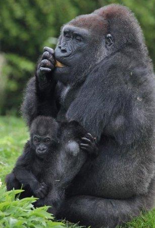Первые шаги маленькой гориллы (15 фото+видео)