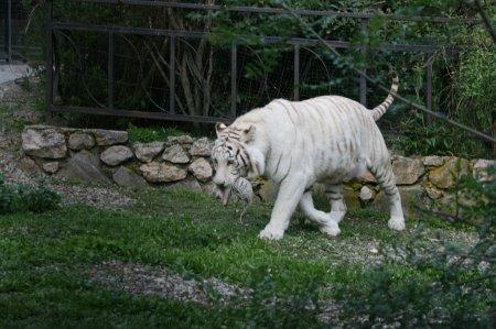 В ялтинском зоопарке родились четыре белых тигренка