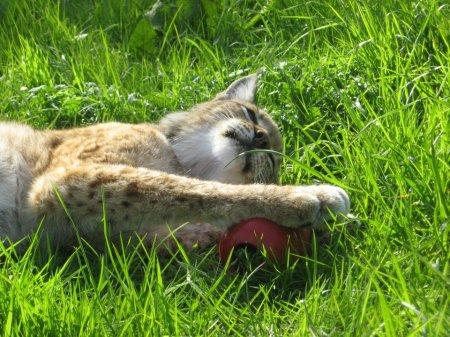 Рысь нежится на солнце