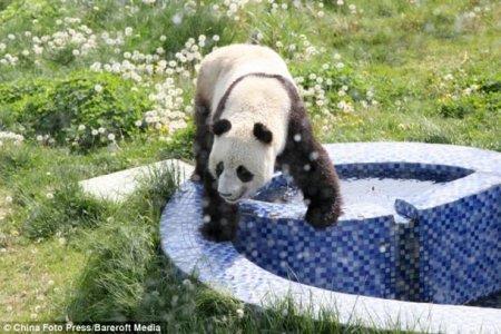 Водные процедуры для панды