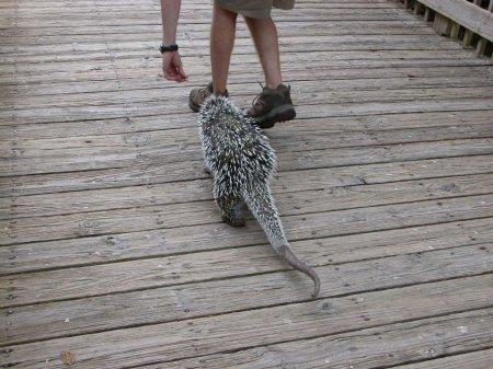 Поркупин Олли из зоопарка Флориды