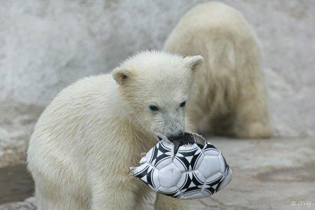 Веселые игры белых медвежат в Московском зоопарке