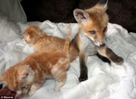 Котята помогли выздороветь лисенку