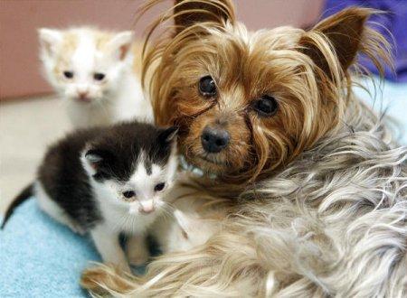 Йоркширский терьер заменил котятам маму