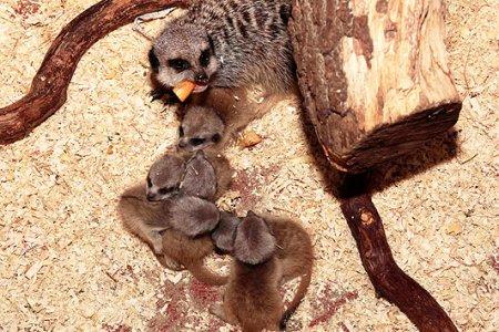 Рождение сразу шестерых сурикатов
