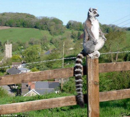Сбежавший лемур прошелся по английской деревушке
