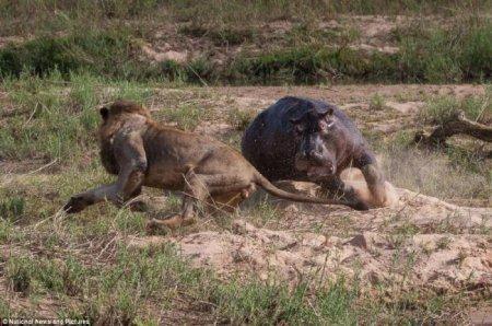 Неравная схватка бегемота и львов