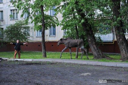 Семья лосей прогулялась по Москве