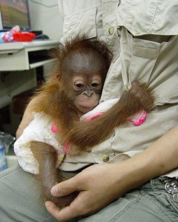 Детеныш орангутана из Китайского зоопарка