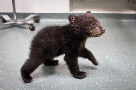 В лесах штата Орегон был найдем маленький медвежонок