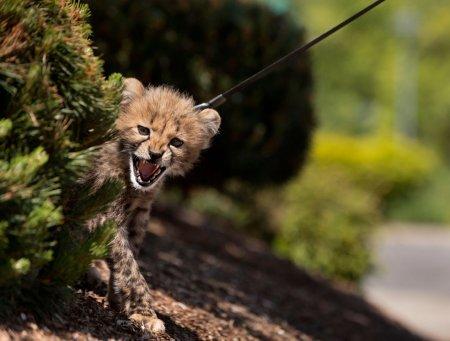 Детеныш гепарда на прогулке
