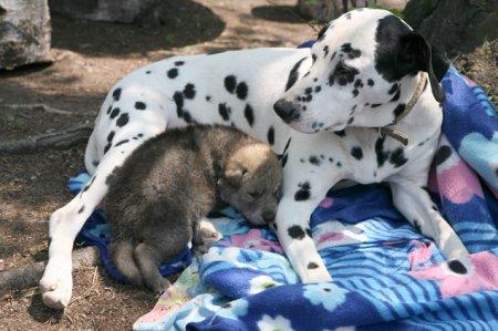Собака породы далматин усыновила волчонка