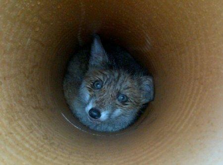 Пес спас застрявшего в трубе лисенка