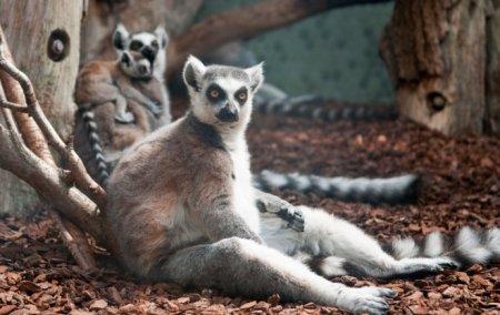 Фото дня: Отдыхающие лемуры