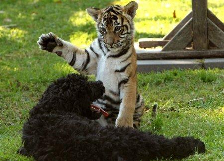 Пес Дэнзел и маленькая тигрица - лучшие друзья