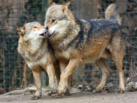Волки из зоопарка Загреба