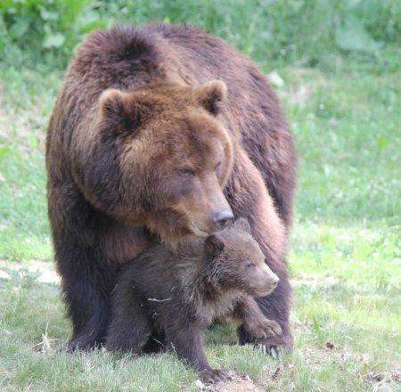 Первое купание медвежат из Чешского зоопарка
