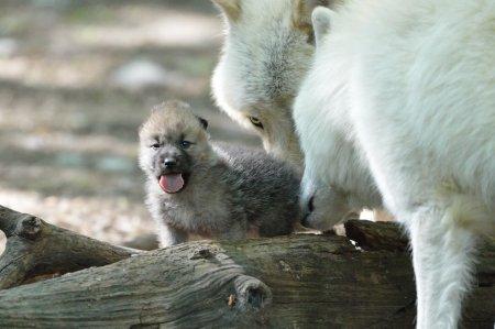 Арктические волчата из зоопарка Вены