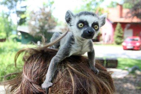 Ветеринар из Загреба заменила маленькому лемуру маму