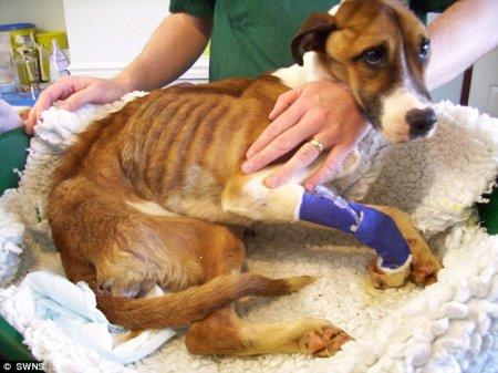 Спасение собаки, которую два месяца морили голодом