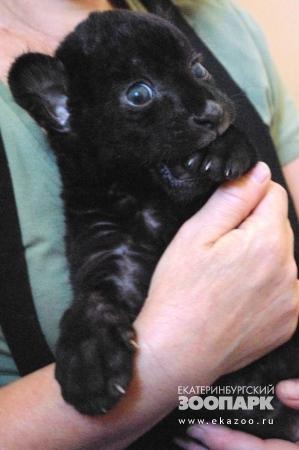 Малыш черного ягуара из Екатеринбургского зоопакра