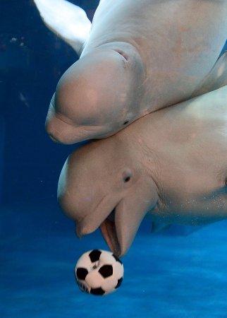 Киты-белухи играют в подводный футбол