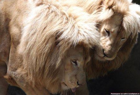 Красивые и большие кошки