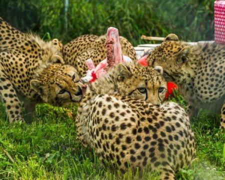 День рождения гепардов