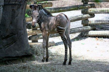 Зебренок из зоопарка Цинцинната