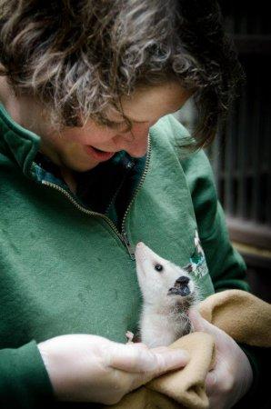 Опоссум Вирджиния из зоопарка Вашингтона
