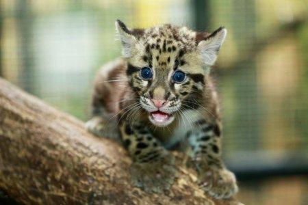 Пополнение дымчатых леопардов в сингапурском зоопарке