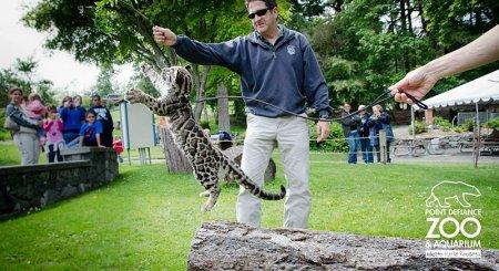 Цирковое шоу от дымчатых леопардов