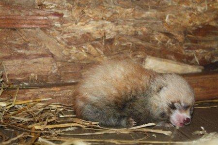 Малыш красной панды из зоопарка Висконсина