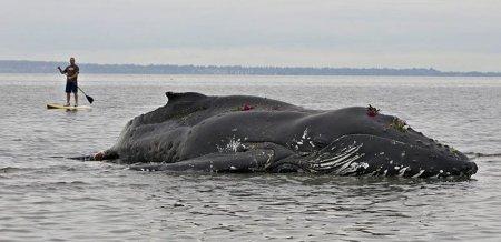 Еще одна жертва человека: молодой кит-горбач