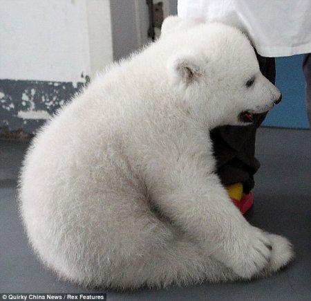 Белым медвежатам-близнецам исполнилось 100 дней
