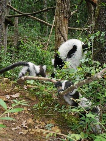 Детеныши лемура вари из зоопарка Франции