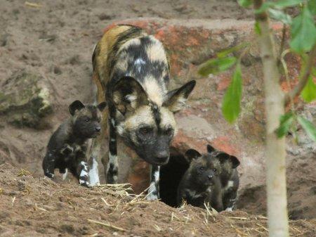 В зоопарке Перта родились щенки гиеновой собаки
