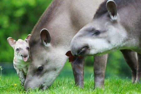 Маленький тапир из зоопарка Дублина
