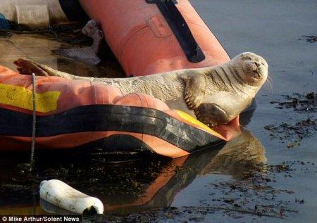 Тюлень загарает