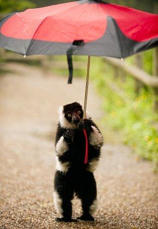 Лемур гуляет под зонтиком