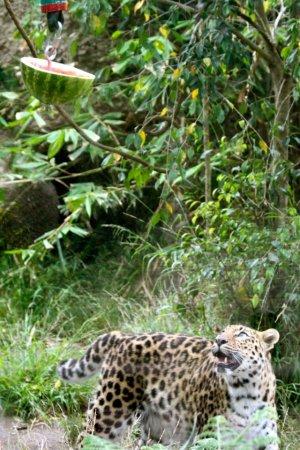 Арбузный день в зоопарке Санта-Барбары