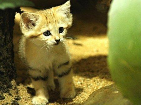 Потомство барханной кошки из зоопарка Брно