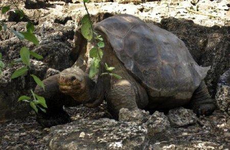 Умерла последняя гигантская черепаха