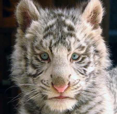 Белые тигры