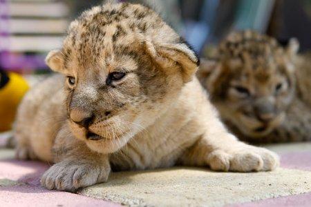 Очаровательные львята из зоопарка Ставрополя