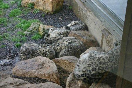 Семья снежных барсов из английского зоопарка