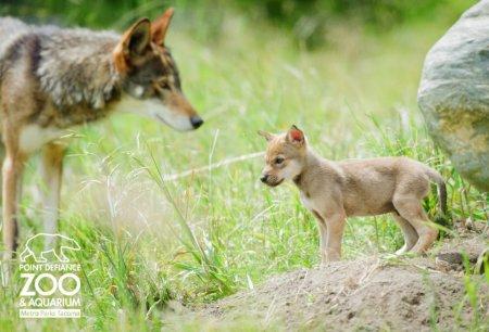 Волчата самого редкого вида
